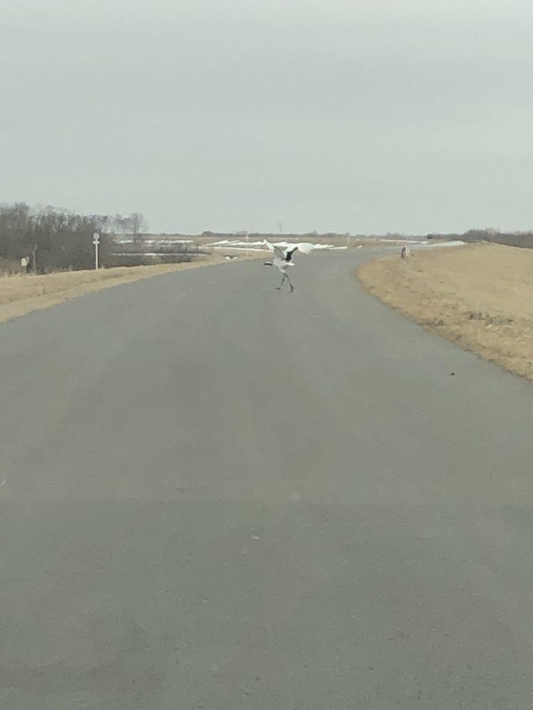 道路に立つ鶴