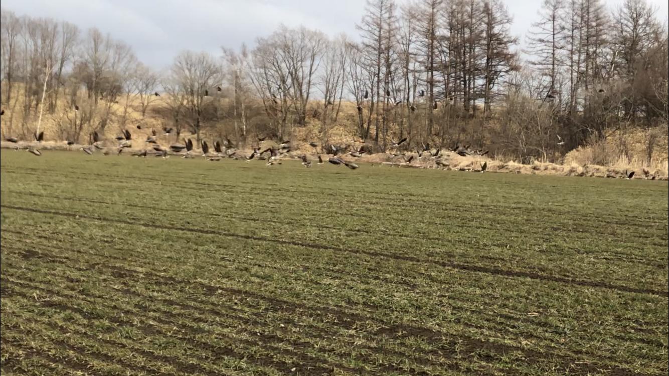 小麦畑にいた野鳥